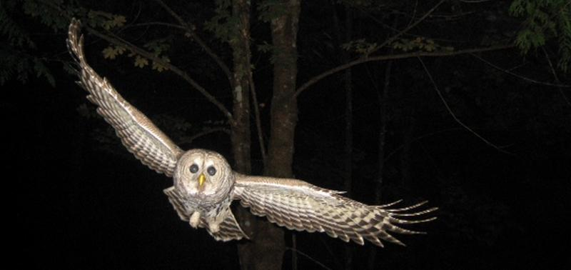 Photo Barred Owl 012